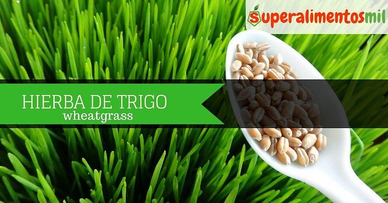 Hierba de trigo – Wheatgrass: Beneficios y contraindicaciones